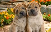 Люблю собак!!! Особенно породы Шарпей:)